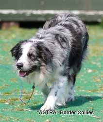 Astra Pirate, Blue merle Tricolour, Rough coated, Male border collie