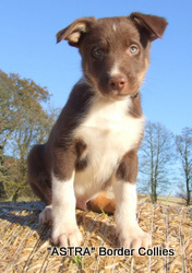 Red tricolour male, Medium coat, border collie puppy