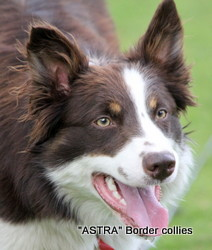 Tess, Red and white tricolour, medium coated border collie