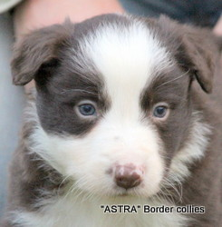 Red Tricolour MALE border collie puppy