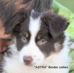 Red Tricolour FEMALE border collie puppy