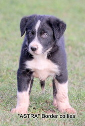 Black and white female, Smooth to medium coat, border collie puppy