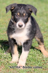 Triclour male, Smooth to medium coat, border collie puppy