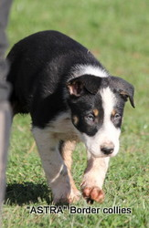 male, Smooth to medium coat, border collie puppy