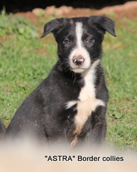 Black and white male, Smooth to medium coat, border collie puppy