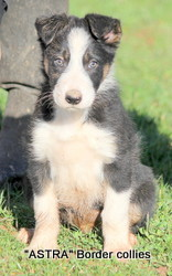Tricolour male, Smooth to medium coat, border collie puppy