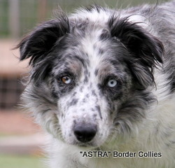 Astra Dream, rough coated border collie.