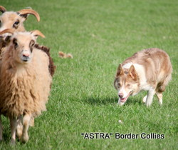 ASTRA GOLDIE, Lilac tricolour, medium coated border collie stud dog.